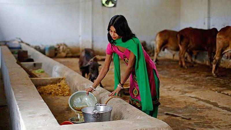 ভারত/ গোয়ালঘরে করোনা চিকিৎসা কেন্দ্র, খাওয়ানো হচ্ছে গোমূত্র