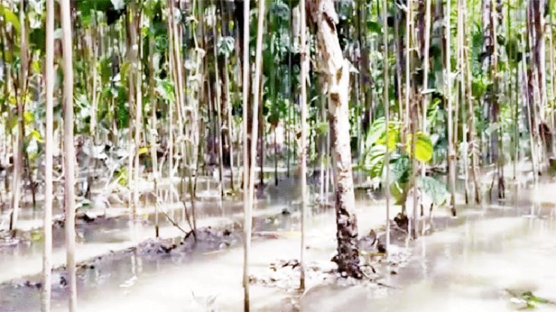 পিরোজপুরে নদীর পানি ঢুকে ক্ষতিগ্রস্ত ২২০০ পানের বরজ, দুশ্চিন্তায় চাষি